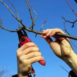 Правильна обрізка яблунь – правильне здійснення робіт в саду