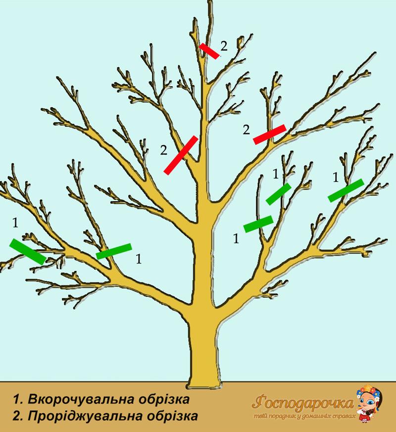 Obrizka-plodovykh-derev-vesnoiu-1