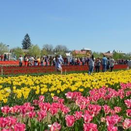 Долина тюльпанів у Буковинській Трої